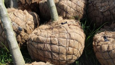 April, the perfect month in which we grub up your trees in coco rootballs