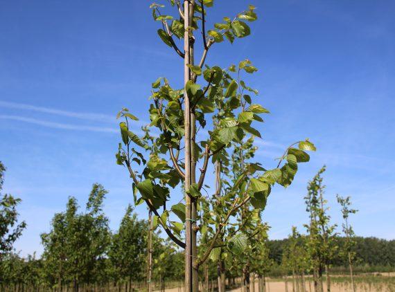 Tilia Europaea 'Pallida'