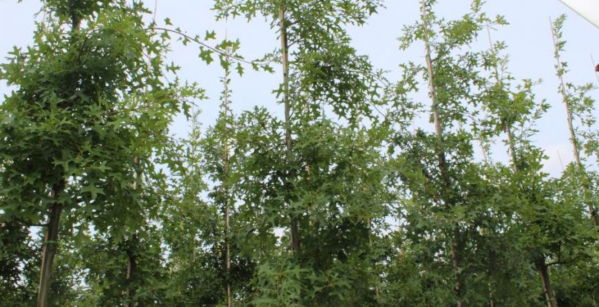 Boom in de kijker: Quercus Palustris (Moeraseik)